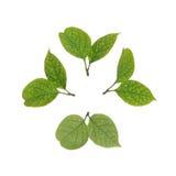 Piccole foglie isolate su fondo bianco Fotografia Stock Libera da Diritti