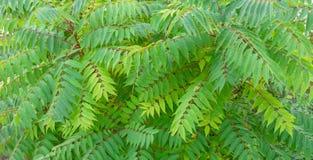 Piccole foglie verdi sui brenches di una pianta Priorità bassa di struttura fotografia stock