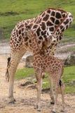 Piccole giraffa e madre del bambino Fotografie Stock Libere da Diritti
