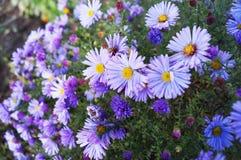 Piccole margherite lilla - i fiori dell'autunno scorso fotografie stock libere da diritti