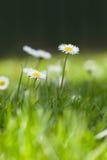Piccole margherite su erba verde Immagini Stock Libere da Diritti