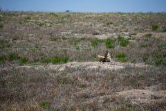 Piccole marmotte felici fotografie stock