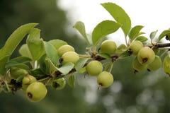Piccole mele di granchio fotografia stock libera da diritti