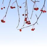 Piccole mele di inverno Fotografia Stock