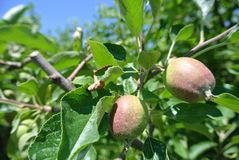 Piccole mele non mature verdi sull'albero in un frutteto Fotografie Stock