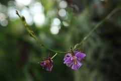 Piccole orchidee a strisce porpora Immagine Stock