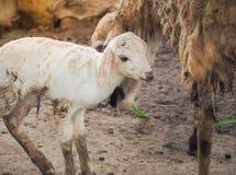Piccole pecore Fotografia Stock