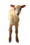 Piccole pecore Fotografie Stock Libere da Diritti