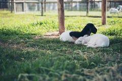 Piccole pecore che dormono e che mangiano le erbe in un campo ed in un allevamento di pecore Immagine Stock