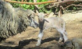 Piccole pecore del bambino sull'azienda agricola Fotografie Stock Libere da Diritti