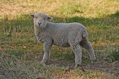 Piccole pecore perse Immagine Stock