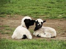 Piccole pecore sveglie fotografia stock