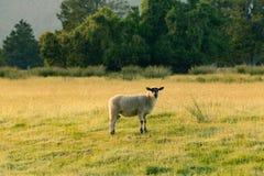 Piccole pecore sveglie nere sopra l'animale da allevamento di vetro verde Immagine Stock