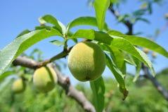 Piccole pesche verdi non mature sull'albero in un frutteto Fotografia Stock Libera da Diritti