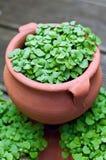 Piccole piante del basilico che crescono in POT Fotografie Stock Libere da Diritti