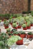Piccole piante del cactus Fotografie Stock Libere da Diritti