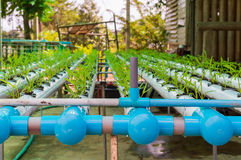 Piccole piante della lattuga verde organica o verdura di insalata sviluppata dal sistema di coltura idroponica con la soluzione l Immagini Stock