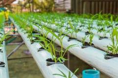 Piccole piante della lattuga verde organica o verdura di insalata sviluppata dal sistema di coltura idroponica con la soluzione l Immagini Stock Libere da Diritti