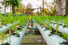 Piccole piante della lattuga verde organica o verdura di insalata sviluppata dal sistema di coltura idroponica con la soluzione l Immagine Stock