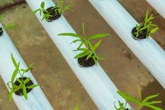 Piccole piante della lattuga verde organica o verdura di insalata sviluppata dal sistema di coltura idroponica con la soluzione l Fotografia Stock