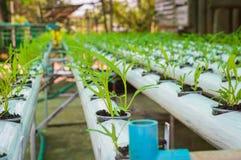 Piccole piante della lattuga verde organica o verdura di insalata sviluppata dal sistema di coltura idroponica con la soluzione l Fotografia Stock Libera da Diritti