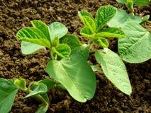 Piccole piante della soia Fotografie Stock Libere da Diritti