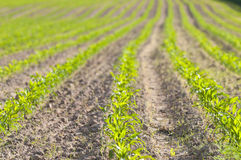 Piccole piante di cereale Fotografia Stock