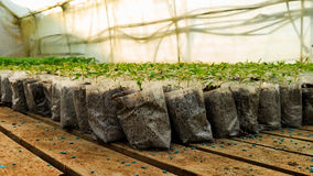 Piante di pomodori di trapianto immagini stock immagine for Piccole piantine