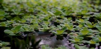 Piccole piante frondose sulla superficie dell'acqua Immagini Stock