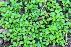 Piccole piante nella terra Fotografia Stock