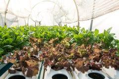Piccole piante o verdura di insalata sviluppata dal sistema di coltura idroponica Immagini Stock Libere da Diritti
