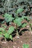 Piccole piantine dei broccoli, da agricoltura biologica Immagini Stock