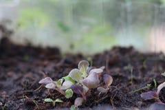 Piccole piantine verdi e verdura di insalata della foglia della quercia rossa Fotografia Stock