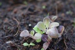Piccole piantine verdi e verdura di insalata della foglia della quercia rossa Immagine Stock Libera da Diritti