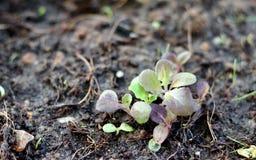 Piccole piantine verdi e verdura di insalata della foglia della quercia rossa Immagini Stock Libere da Diritti