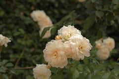 Piccole rose bianche immagine stock