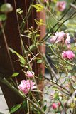 Piccole rose dentellare Fotografia Stock Libera da Diritti