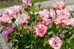 Piccole rose rosa fra fogliame immagine stock libera da diritti