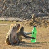 Piccole scimmie curiose Fotografie Stock