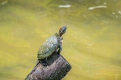 Piccole tartaruga ed acqua Fotografie Stock Libere da Diritti