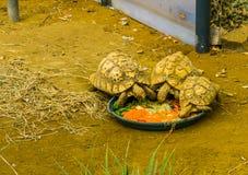 Piccole tartarughe che mangiano le verdure, prendenti cura dei rettili, animali domestici tropicali popolari fotografia stock libera da diritti
