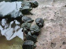 Piccole tartarughe parallelamente Immagine Stock Libera da Diritti