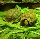 Piccole tartarughe sull'erba Fotografie Stock Libere da Diritti