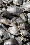 Piccole tartarughe verdi Immagine Stock Libera da Diritti