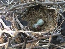 Piccole uova punteggiate degli uccelli Fotografia Stock Libera da Diritti