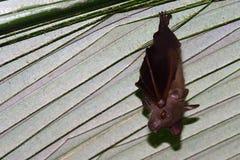 Piccole volpi volanti, Penang, Malesia Immagini Stock Libere da Diritti