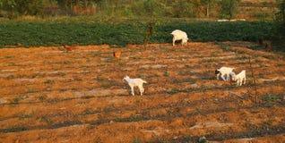 Piccoli agnelli Fotografia Stock