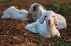Piccoli agnelli Immagini Stock