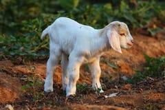 Piccoli agnelli Immagine Stock Libera da Diritti