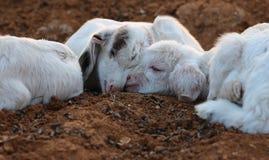 Piccoli agnelli Fotografie Stock Libere da Diritti